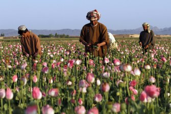 The world's opium is sourced from Afghanistan, where production has surged.