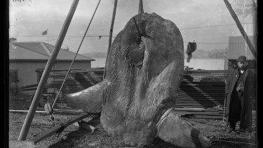 Bump-head sunfish, Mola alexandrini, captured in Darling Harbour in December 1882.