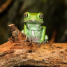 'Huge number of risks': Healers hit with Amazonian frog poison ban