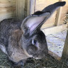 Darius, the world's longest rabbit, is stolen from his home