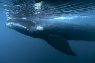 A southern right whale.