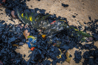 A rainbow lorikeet that died in the fires washed up on Tip Beach just outside Mallacoota