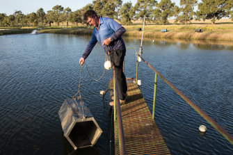 Narrandera Fisheries Centre hatchery manager Matt McLellan lowers a breeding box into a pond at the centre where Murray cod are being bred to be released back into the NSW river system when conditions are right.