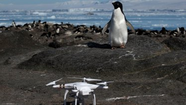An Adélie penguin found the quadcopter used to count the colony.