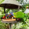 Can you help experts figure out what's killing rainbow lorikeets?
