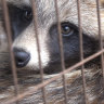 Real fur from tortured dogs being sold as fake in Melbourne's markets