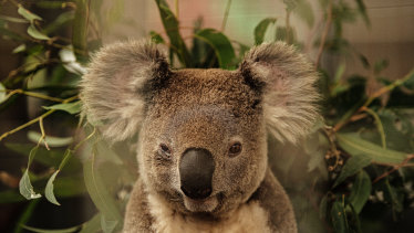 The koala protection laws needed beefing up.