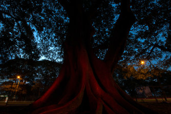 The ranked splendour of Moreton Bay figs along Anzac Parade, each 150-year-old tree a small metropolis, were depleted for the already-bedevilled new tramline.
