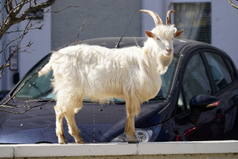 A mountain goat relieves itself while standing on a wall in the centre of the seaside town of Llandudno.