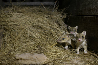 A scene from the ABC documentary, Quoll Farm.