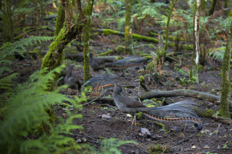 Superb lyrebirds on the forest floor
