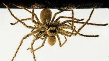 The golden huntsman has a leg span that can be up to 18 centimetres.