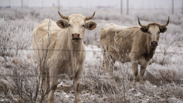 A pair of bulls roam a field as they graze with the rest of their herd in Midland, Texas.