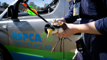 The female plover was captured by an RSPCA rescue officer and rushed to their wildlife hospital.