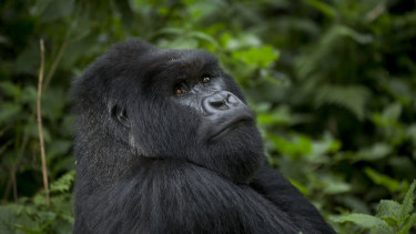 A male silverback gorilla from the family of mountain gorillas named Amahoro, which means peace, sits in the dense forest on the slopes of Mount Bisoke volcano in Volcanoes National Park. Rwanda.