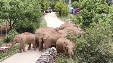 China's wandering elephants have been harnessed in the service of the nation's international image.