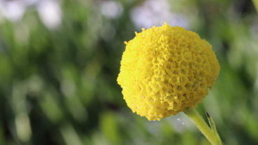 Billy Buttons (Craspedia variabilis) being grown in the seed production operation at Burnley.