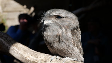 A sleepy tawny frogmouth in Hobart.