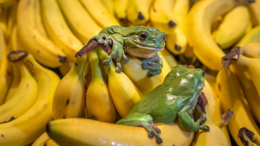 Native frogs are accidental hitchhikers, travelling via fruit and vegetable trucks.