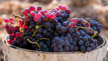 Volatile phenols can travel quickly through the grape skins into the fruit.