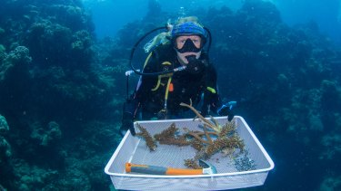 Corals grown in coral nurseries have been nailed to Opal Reef off Port Douglas using a stainless-steel clip.