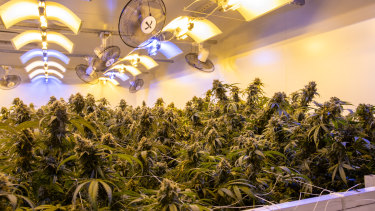 Little Green Pharma's south west medical cannabis facility.