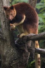 Breakfast is served: feeding time for a tree kangaroo at Taronga Zoo.