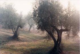 The Olive Grove, Paretaio, Tuscany, by  John R. Neeson, 1983.