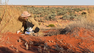 Ecologist Emma Spencer monitors a fake night parrot nest to see if it has been raided by foxes lured to the area by a camel carcass.