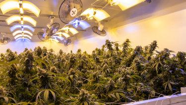 Little Green Pharma's south west medical cannabis facility.