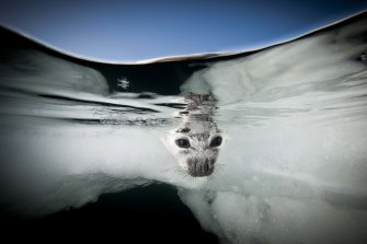 A harp seal at the Gulf of St Laurence, Canada. The image is part of the Elysium Arctic, a series of photographic artworks documenting the polar north.