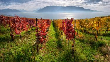 Autumn vineyards in Switzerland.