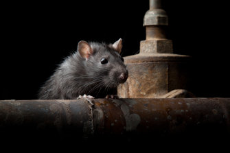 The Centres for Disease Control and Prevention have warned desperate rats will invade homes looking for food.