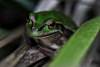 The green and golden bell frog is also found in the Brickpit, a core habitat for the endangered amphibian.