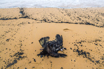 A yellow-tailed black cockatoo that washed up on Tip Beach, just outside Mallacoota.