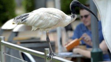 An ibis seen at South Bank in Brisbane.