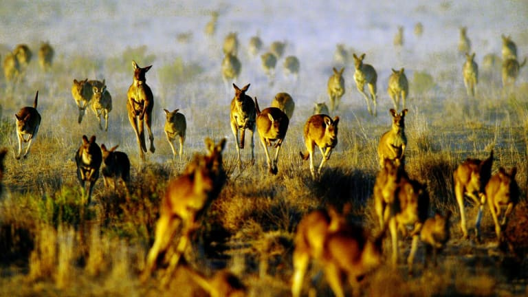 The commercial harvesting quota for red and grey kangaroos was 2.5 million but only 350,000 were harvested.