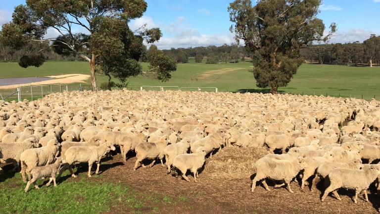 China in 2016 surpassed Australia as the top wool producer.