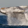 Humpback whales at risk from population explosion
