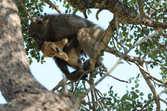 A male baboon preens a lion cub in a tree in the Kruger National Park as if it were his own.