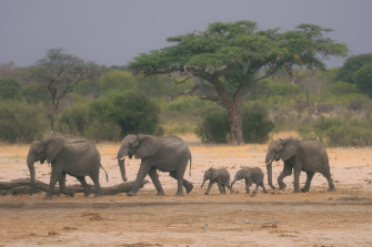 A herd of elephants makes its way through the Hwange National Park.