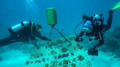 'Super survivor' coral brings hope to beleaguered Great Barrier Reef
