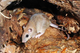 The critically endangered central rock-rat.