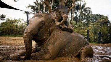 Two-year-old Jai Dee with his 27-year- old mother Pak Boon in the mud at  Taronga Zoo.