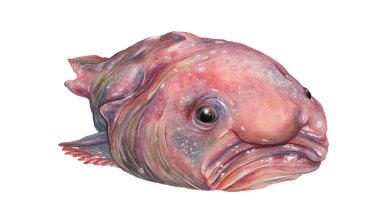 A blobfish.