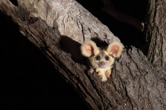The greater glider is a protected species now under further threat.