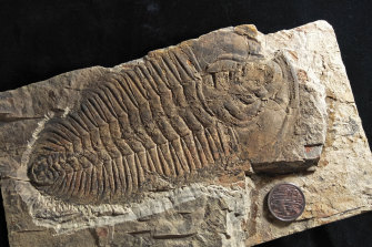 A fossil of the long-extinct group of sea creatures called trilobites that was recently discovered on Kangaroo Island, South Australia.
