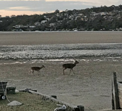 Sydney bound? Rusa deer at Maianbar in the Royal National Park.