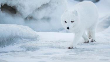 An Arctic fox.