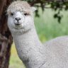 Alpacas provide new hope for a COVID-19 cure